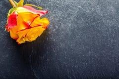 Orange rose. Yellow rose. Several orange roses on Granite background Stock Images