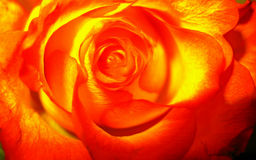 Orange rose. And yellow sunlight stock photography