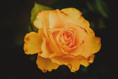 Orange rosebud Stock Photography