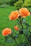 Orange rosebush Royalty Free Stock Photo