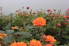 orange Rosen Stockbild
