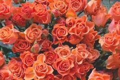 Orange Rosen als Hintergrund Das Wachsen verlässt auf den Rot-, Schwarzen und Blauenbreiten Streifen Lizenzfreie Stockbilder