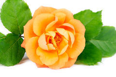 Orange Rosen-Blume Stockbild