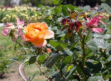 Orange Rosen San Jose Rose Garden, San Jose, Ca Stockfotografie