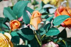 Orange Rosen und Blaublätter Stockbilder