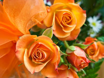 Orange roses Stock Images