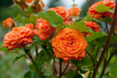 Orange roses Royalty Free Stock Photos