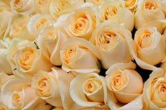 Orange roses Stock Photo