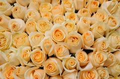 Orange roses Stock Photos