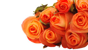 Orange roses. Isolated on white royalty free stock photos