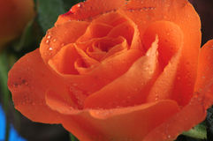 Orange roses Stock Photos