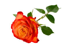 Orange roses. Fresh, bright orange roses with drops of water on a white background Royalty Free Stock Photos