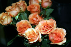 Orange roses. Bunch of orange roses in bloom with dark background Stock Image