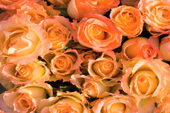 Orange roses background Stock Photo