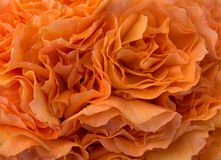 Orange roses background Stock Images
