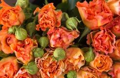 Orange roses background Stock Image
