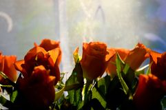 Orange roses on a blue and white background. Close up photo of orange roses with sun shining from behind stock photos