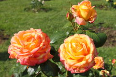 Orange roses Stock Image