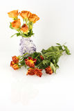 Orange roses, fresh versus withered. Fresh roses in a vase, flaccid ones lying alongside, with faint reflection Stock Image