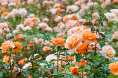 Orange Roses Garden Stock Photography