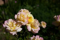 Some orange yellow roses in the garden. Orange roses growing in the summer garden royalty free stock images