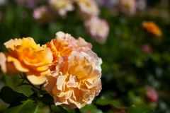 Some orange yellow roses in the garden. Orange roses growing in the summer garden royalty free stock photo