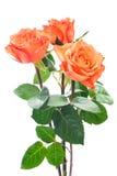Orange roses. Isolated on the white background Stock Photography