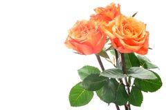 Orange roses. Isolated on the white background Royalty Free Stock Photos