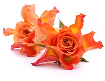 Orange roses Stock Photography