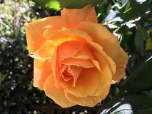 Orange Roses royalty free stock image