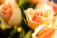 Orange roses with morning dew Royalty Free Stock Photography