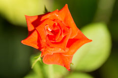 Orange roses. Stock Image