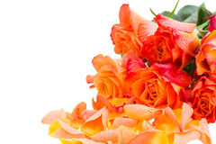 Orange roses with petals Royalty Free Stock Photo
