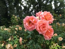 Orange roses after the rain in the park in summertime stock photos