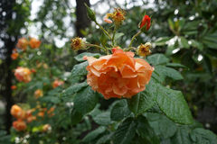 Orange roses after the rain Stock Photography