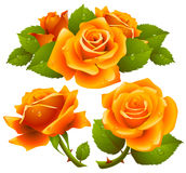 Orange roses set Stock Photos