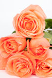 Orange roses with the small water drops. Orange roses with the refreshing water, roses with the water drops, flowers, roses, blossom royalty free stock image