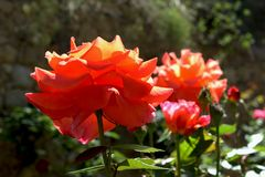 Orange roses in a sunny day stock photos