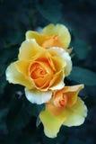 Orange Roses. Three delicate miniature yellow orange roses on dark green background stock photo