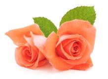 Orange Roses. Two beautiful orange roses on a white background Royalty Free Stock Image