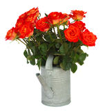 Orange  roses in watering can Stock Photos