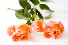 Orange Roses on White Background Royalty Free Stock Photos