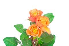 Orange roses Stock Photography