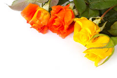 Orange roses and yellow roses on white background. Stock Images