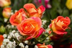 Orange rosor Arkivbilder