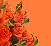 Orange rosor Arkivfoto