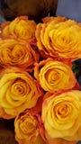 Orange rosor Royaltyfri Fotografi
