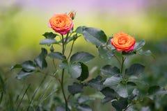 Orange rosor på en buske i en trädgård royaltyfria bilder