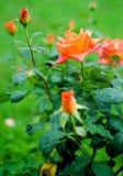 Orange rosor på en filial med gröna sidor utomhus Royaltyfri Fotografi