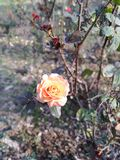 Orange rose alone royalty free stock photos